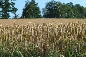 Getreide Stroh
